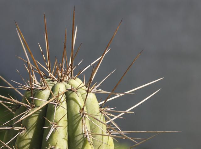 Por-qué-los-cactus-tienen-espinas-2